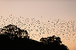A phenomenal fly-out of possibly half a million little red flying foxes at sunset about 6:10pm, flying out from their daytime roosting forest.  The little red flying fox (Pteropus scapulatus) is a species of megabat native to northern and eastern Australia. With a weight of 280–530 grams it is the smallest flying fox in mainland Australia.  It has the widest range of all the species, going much further inland than the larger fruit bats. Its diet primarily consists of nectar and pollen of eucalypt blossoms, the pollination of which it is largely responsible. The little red flying fox is nomadic, and can be found in large groups of up to a million individuals. This species gives birth six months later than the other mainland flying fox species, in April and May.