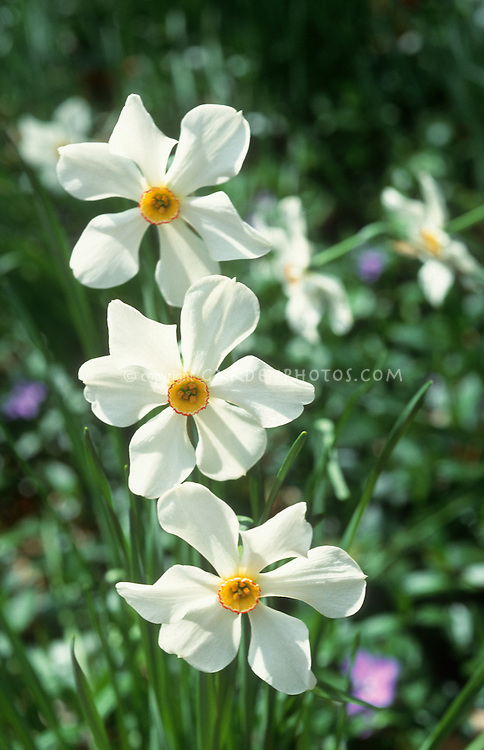 Narcissus poeticus Poet's Eye daffodil