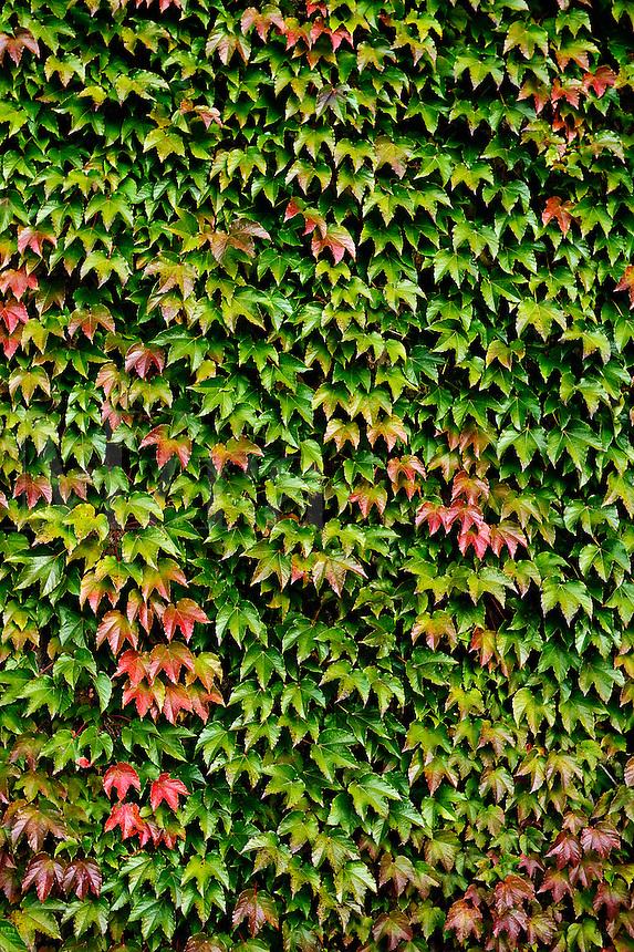 Wall of Boston Ivy