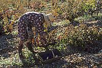 Europe/France/Midi-Pyrénées/46/Lot/Env. d'Esclauzels: Vignoble de Cahors - Vendangeuse [Non destiné à un usage publicitaire - Not intended for an advertising use]<br /> PHOTO D'ARCHIVES // ARCHIVAL IMAGES<br /> FRANCE 1980