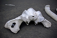 Fin whale (Balaenoptera physalus) skull, with glove as a scale, Jan Mayen Island, North Atlantic Ocean