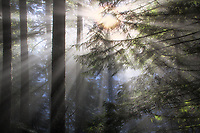 Sunburst through forest in Oregon
