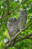 Western Screech-Owl (Megascops kennicottii) fledglings. Multnomah County, Oregon. June.