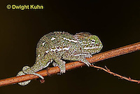 CH47-536z  Veiled Chameleon several day old young, Chamaeleo calyptratus