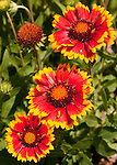 Red and yellow marigolds (flowers) seem to glow in bright early summer sunlight.