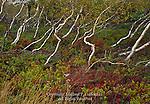 Gray Birch trees on Sam's Point Preserve,  Shawangunk Mountains, New York