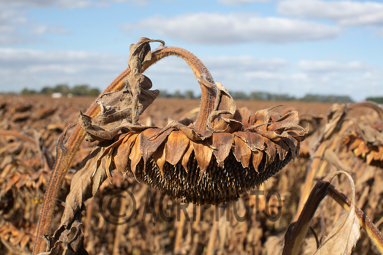Sunflowers ready for harvest in the Lincolnshire Fens<br /> ©Tim Scrivener Photographer 07850 303986<br />      ....Covering Agriculture In The UK....