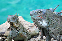 8 August 2009: The Green Iguana (Iguana iguana) is found throughout the island of Bonaire. This pair taken along the coral coastline at Captain Don's Habitat on the island of Bonaire, in the Netherlands Antilles. ..Mandatory Photo Credit: Ed Wolfstein Photo