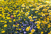 Layia platyglossa compestris (Tidytips) and Nemophila - Coastal wildflower mix