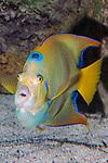 Queen angelfish swimming towards camera, vertical.