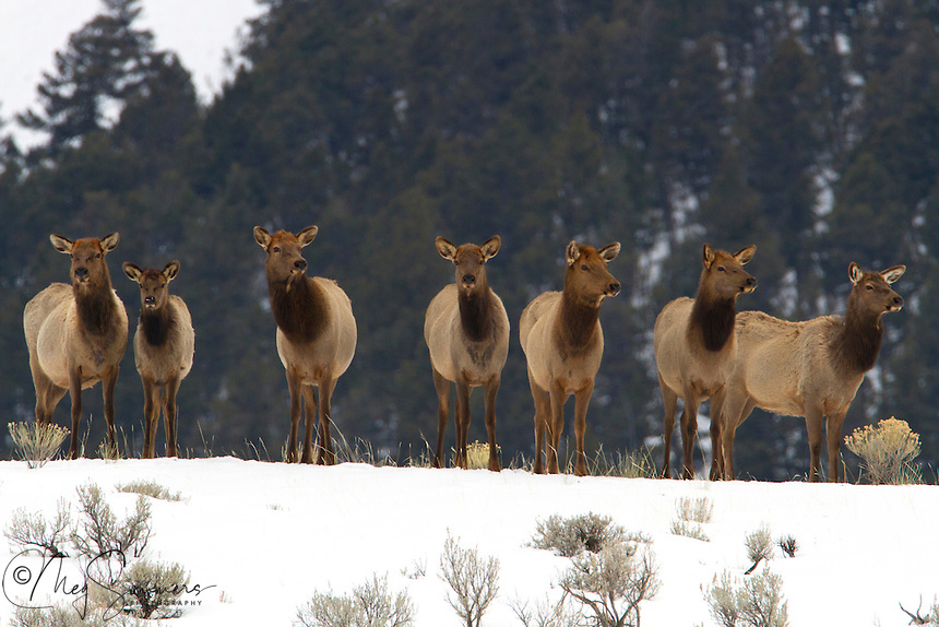 Elk (Cervus canadensis) cows live in small herds through the winter months. This group is aware there are wolves in the area and that those wolves killed one of their own just the day before in the same vicinity.  They are standing here, assessing the danger and soon walked off and began to graze again, ever nervous and on their guard.<br /> Mammoth area, Yellowstone