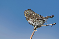 Northern Pygmy-Owl (Glaucidium gnoma), male calling, Yellowstone National Park, Wyoming, USA