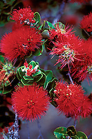 Brilliant red blossoms of the native ohia lehua tree (metrosideros polymorpha), sacred to Native Hawaiians as a manifestation of the volcano goddess Pele.