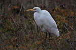 Egret at the water's edge.