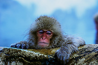 A baby Japanese macaque, a.k.a. Snow Monkey relaxes in a hot spring at Jigokudani (Hell Valley) in Nagano Prefecture, Japan. Japanese snow monkeys live in extreme conditions where winter temperatures can drop to -20 c, and they are unique in taking hot bath, known as an Onsen..18 Jan 2011