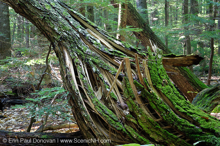 Twisted hemlock tree during the summer months along the Moat Mountain Mineral Site Trail in Albany, New Hampshire USA