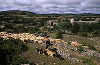 Europe/France/Midi-Pyrénées/12/Aveyron/Larzac/La Couvertoirade: Cité Templière du Larzac Marc Montagnié berger sort son troupeau de brebis - fromage de Roquefort