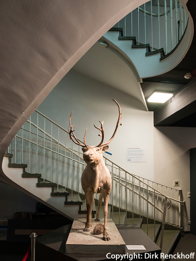 Rentier, Helms-Museum = Archäologisches Museum Hamburg, Deutschland, Europa<br /> Reindeer, Helms-Museum = Archaeological  Museum Hamburg, Germany Europe