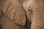 African Elephant (Loxodonta africana) bull, Kruger National Park, South Africa