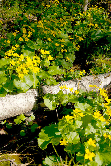 Spring sunshine results in an explosion of color in wet sags where Marsh Marigolds prefer to take up residence.
