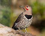 Woodpeckers and Kingfishers