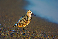 Sanderling at dusk along the sandspit at Point Pelee National Park, Ontario, Canada. (Calidris alba). Fall migration.