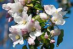 Germany, Bavaria, Apple Blossom