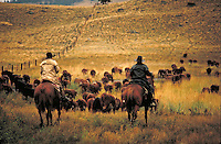 Cowboys round up cattle on historic ranch in BC interior. Douglas Lake Ranch is one of the largest in the world, at over 700,000 acres.  Douglas Lake British Columbia Canada