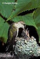 HU10-006x  Ruby-throated Hummingbird - female feeding nectar to  baby birds in nest  -  Archilochus colubris