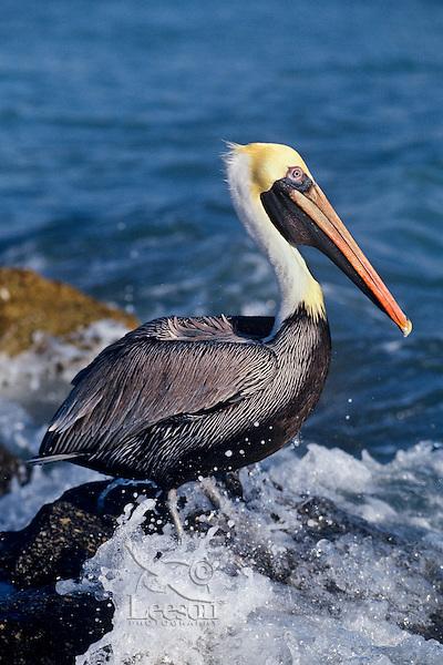 Brown Pelican (Pelecanus occidentalis).  Florida coast.