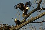 Bald eagles (Haliaeetus leucocephalus) jump around their nest.<br /> <br /> Belle Haven Country Club, Alexandria, Virginia