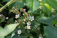 Brombeere, Brombeeren, Blüte, Blüten, Echte Brombeere, Rubus fruticosus agg., Rubus sectio Rubus, Rubus fruticosus, blackberry, bramble, ronce