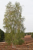Hänge-Birke, Sand-Birke, Birke, Hängebirke, Betula pendula, European White Birch, Silver Birch