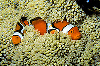 Clown anemonefish, Amphiprion percula, Fiji, Pacific Ocean