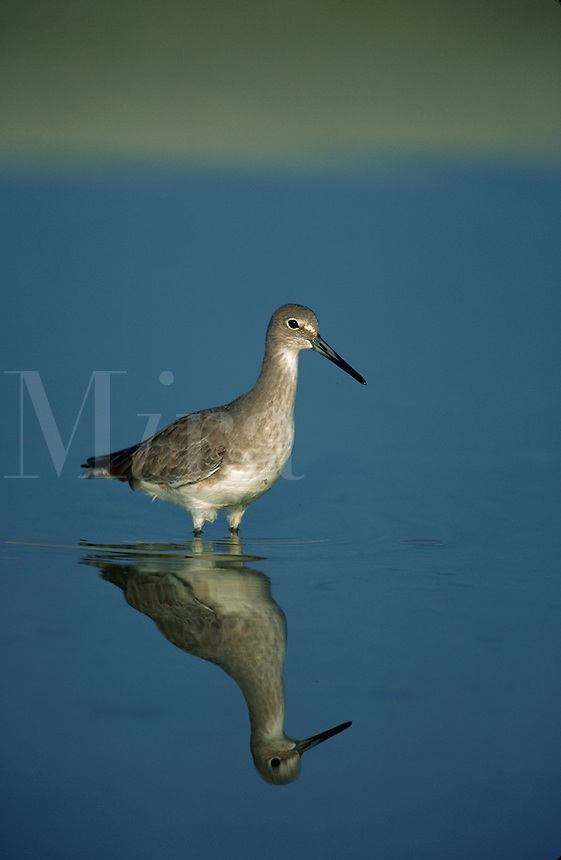 Willet standing in tide pool, Florida