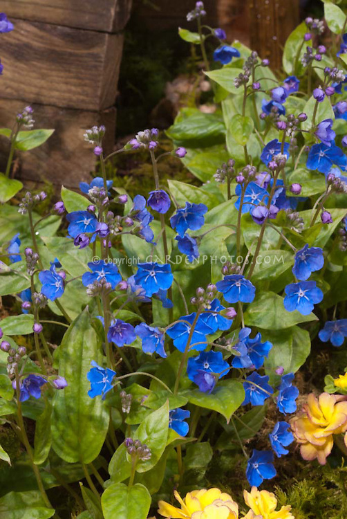Blue flowers of Omphalodes cappadocica 'Cherry Ingram' with Primula 'Belarina Series Nectarine'
