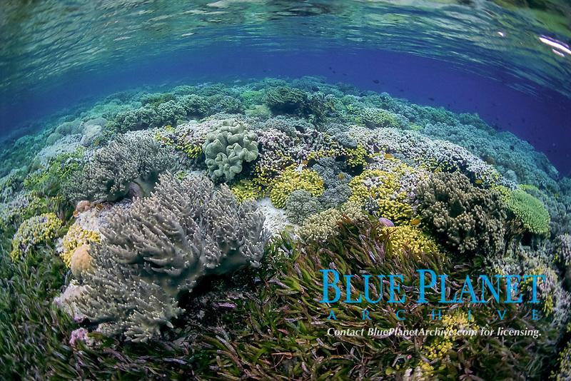 Top reef, Sea grass, leather corals, Onemoba'a, Tomia, Kepulauan Wakatobi National park, Southeast Sulawesi, Indonesia, Banda Sea, Indian Ocean