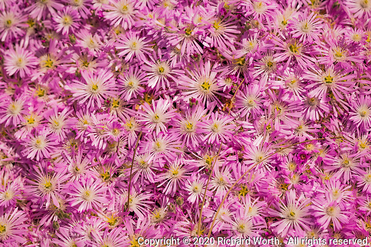 A bed of flowers with pink and white petals and yellow centers, bursting with spring.