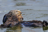 Sea Otter (Enhydra lutris) mother lifting pup onto her chest.