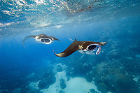 reef manta rays, Manta alfredi, feeding on plankton near the surface, Valley of the Rays, Goofnuw Channel, Yap, Micronesia, Pacific Ocean