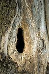 Croatia, Istria, Motovun: hollow tree / trunk | Kroatien, Istrien, Motovun: hohler Baumstamm
