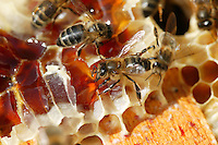 Honeybees loot the comb during a harvest of heather honey.