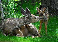 Mother deer touching nooses with her spotted fawn in Waterton Park Alberta Canada