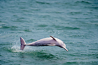 Chinese white dolphin or Indo-Pacific Ocean humpback dolphin, Sousa chinensis, Hong Kong, China