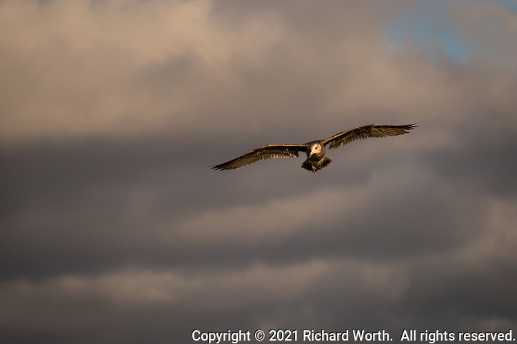 With wings spread wide a gull soars against a background of winter gray clouds.
