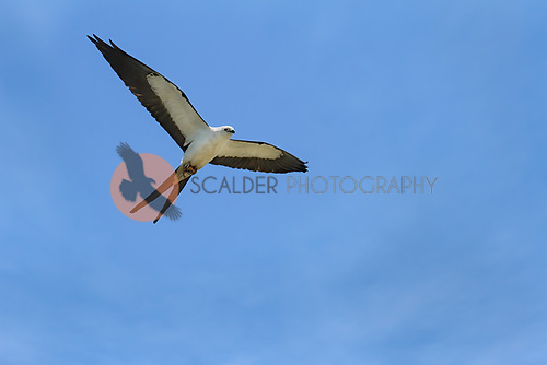Swallow-tailed Kite in flight with prey