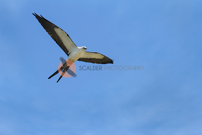 Swallow-tailed Kite in flight with prey in feet flying overhead with wings spread
