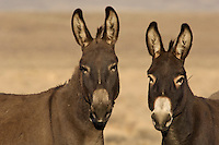 Wild Burros (Equus asinus), originally from North Africa, in desert area of American West.