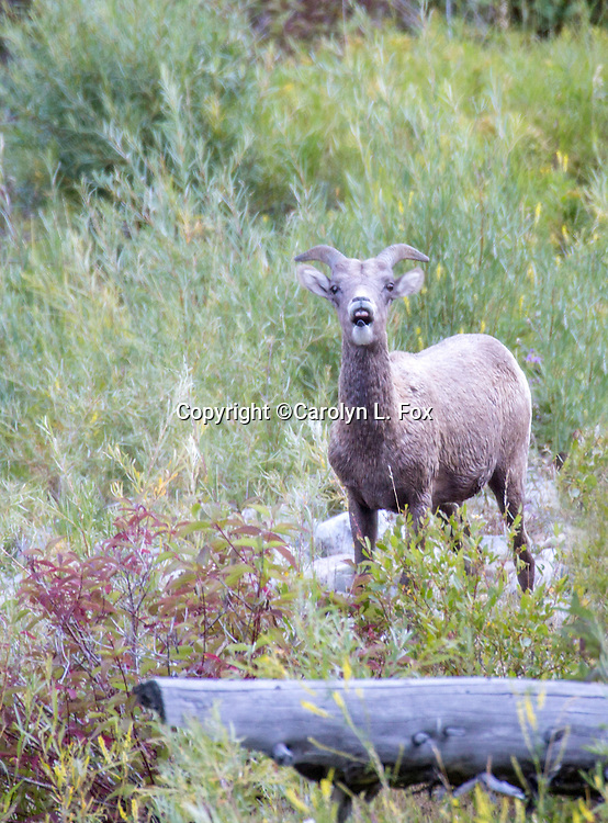 Big Horn Sheep are a frequent sight in Montana.