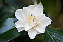 Camellia japonica 'Miyakodori', late March.